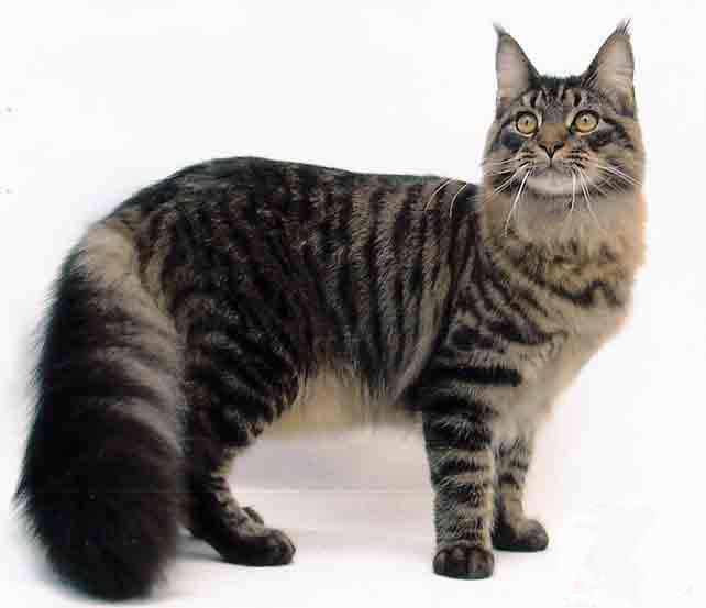 Las razas de gatos mas lindos